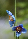 14 two blue poppies