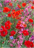 10 poppies and clarkia