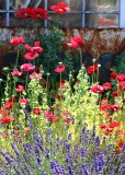 11 poppies and lavender by the old shed