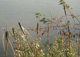 39 rose hips and rushes