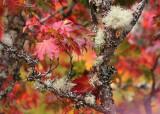 36 maple and lichen