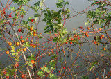 29 rosehips at theler
