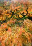 25 orange gold maple