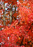 20 chinese red leaves and trunks