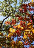 15 oak