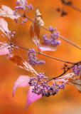 14 beauty berry by orange maple
