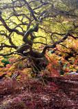12 fall maple 2013-2