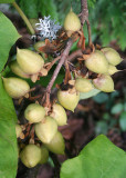 02 empress tree seeds