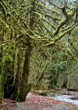 24 mossy winter maples