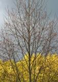 25  alder catkins before the storm