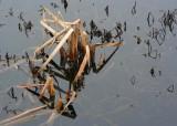 31 january pond reeds