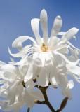 42 white magnolia