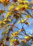 44 maple flowers, new leaves