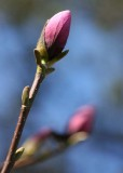 47 buds before bloom