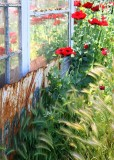 67 poppies by the old shed 2