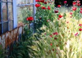 71 poppies by the old shed