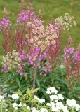 39 fireweed, pearly, wild carrot(?)