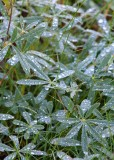31 rain on lupine leaves