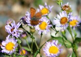 28 butterfly on aster