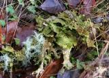 65 lungwort lichen