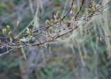 67 usnea and spring buds