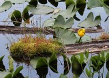 28 yellow pond lily howell lake