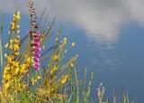 32 foxglove and broom by lake