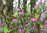 33 woodland rhodies