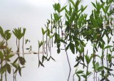 35 buckbean at howell lake