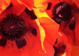 72 two poppies
