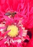 73 bee in red poppy