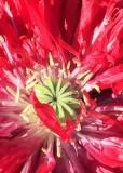 74 red poppy heart