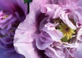 79 pinkish purple poppies