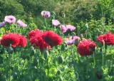 81 red and purple poppies
