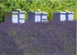 83 lavender and hives