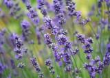 84 lavender field
