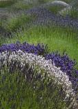 85 striped lavender field 2