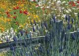 86 lavender, fence, poppy field