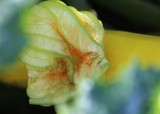 27 yellow zucchini and blossom