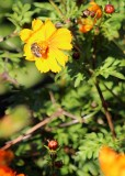 26 bee on orange cosmos