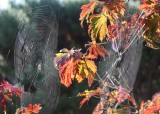 31 two webs in the maple