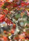 33 maple and lichen