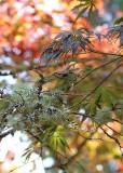 34 lichen, maple, color