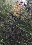 38 scotch broom seed pods