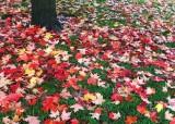 40 maple mulch