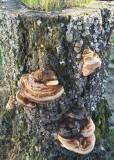 43 conks on a stump