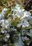 10 white lichen