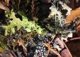 41 lichens at dewatto