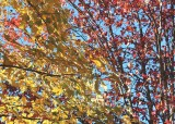 50 red, yellow maples