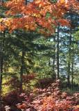 51 azalea oak and fir
